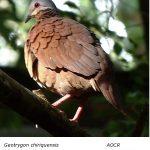 Chiriqui_Quail-Dove