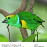 Chlorophonia_callophrysF