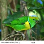 Chlorophonia_callophrysM