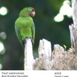 Red-fronted_Parrotlet