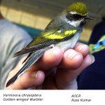 Vermivora_chrysoptera