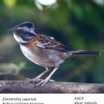 Zonotrichia_capensis
