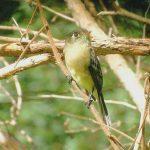black-capped_flycatcher