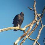 black_vulture_1_B