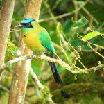 blue-crowned_motmot_4_B