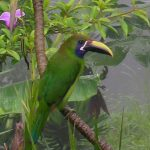 emerald_toucanet