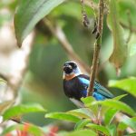 golden_hooded_tanager_1_B
