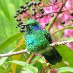 green_violet-ear_11_B