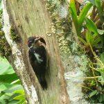 hairy_woodpecker_2_B