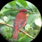 hepatic_tanager_3_B