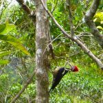 lineated_woodpecker