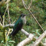 magnificent_hummingbird_f