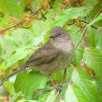 mountain_robin