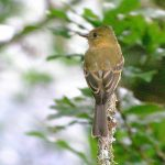 ochraceous_pewee_3