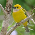 silver-throated_tanager_1
