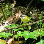 sooty-capped_bush-tanager