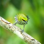 speckled_tanager_2_B
