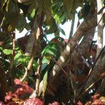sulphur-winged_parakeet