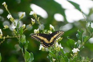 DG_Papilio_thoas_nealces