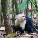 DG_White-thorated_Capuchin_Monkey