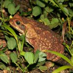 cane-toad-1
